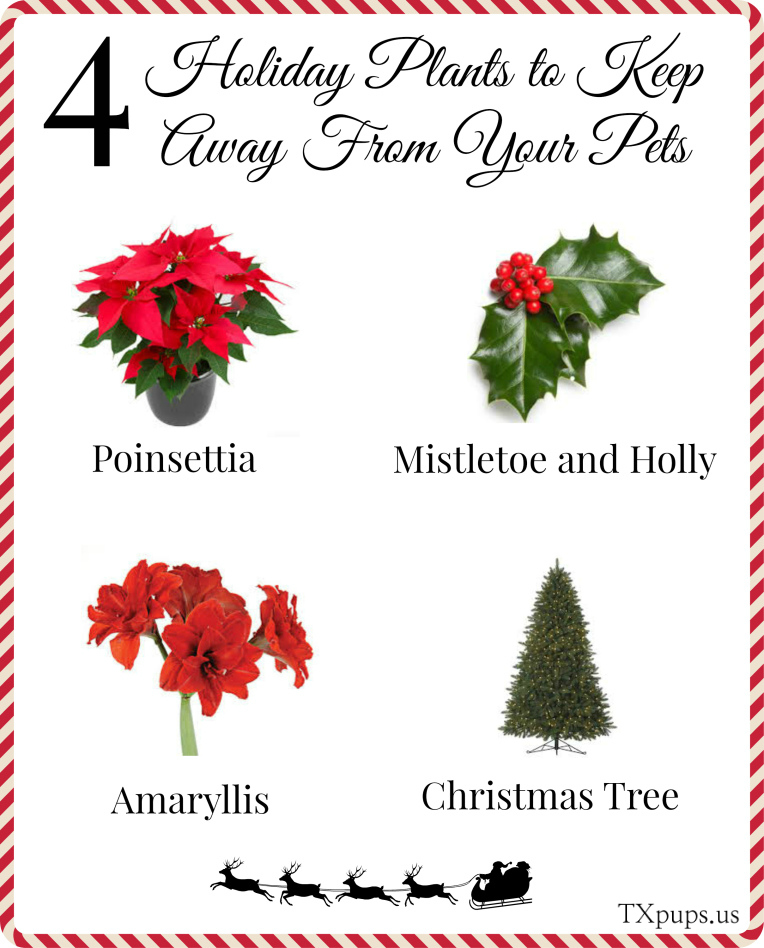4-holiday-plants-to-keep-away-from-your-pets final